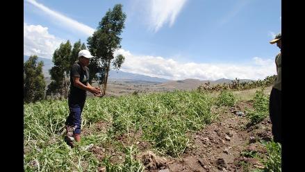 Arequipa: La roya deja pérdidas por más de 5 millones en Huambo