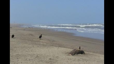 Lambayeque: piden limpieza de caleta por muerte de especies marinas