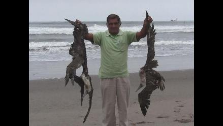 Imarpe recogerá muestras de piqueros muertos en el litoral lambayecano