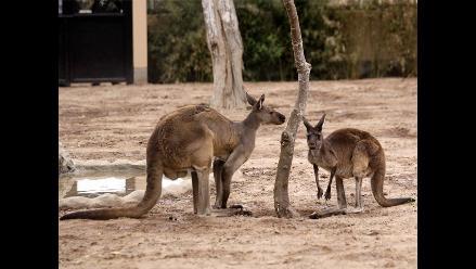 Los canguros usan su cola como poderosa extremidad, según estudio