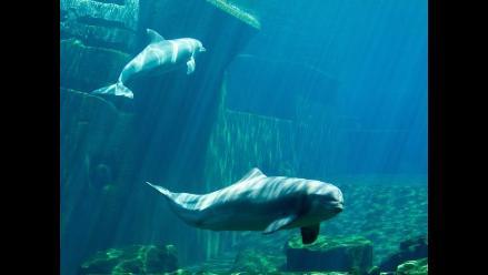 Jacques Levy dice que los delfines Yaku y Wayra ya se encuentran en Jamaica