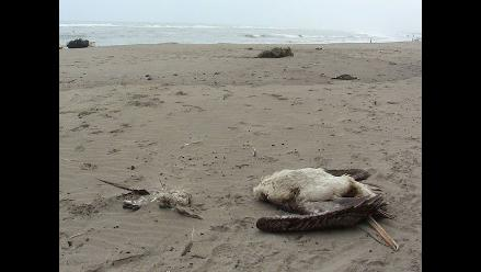 Decenas de pelícanos y piqueros mueren en playa de Puerto Eten