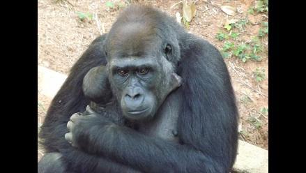 Nace en Brasil la primera cría de gorila de Suramérica