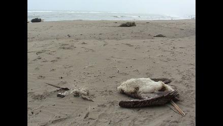 Chiclayo: cambio de temperatura reducirá muerte de aves en playas