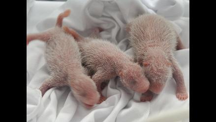 China: nacen los primeros pandas trillizos del mundo