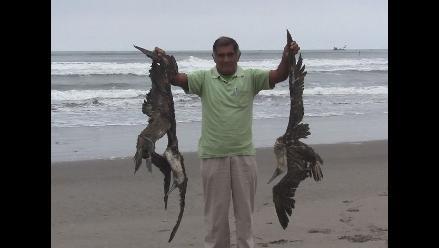 Chimbote: hallan más pelícanos muertos en playa La Caleta