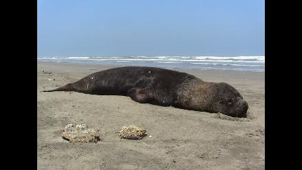 Especies marinas agonizan y mueren en litoral lambayecano