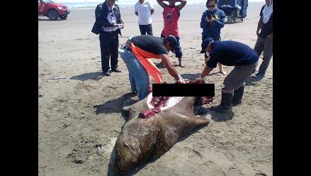 Imarpe practica necropsia a lobos marinos varados en Lambayeque