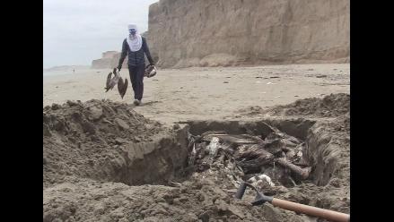 Entierran pelícanos y piqueros que vararon en playa de Puerto Eten