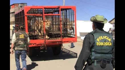 Rescatan a nueve leones que eran utilizados en circos del país