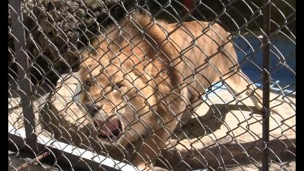 Cusco: profesora atacada por león ya se recupera en un hospital