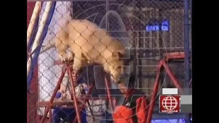Dueños de circo impiden que ONG rescate a león que atacó a profesora