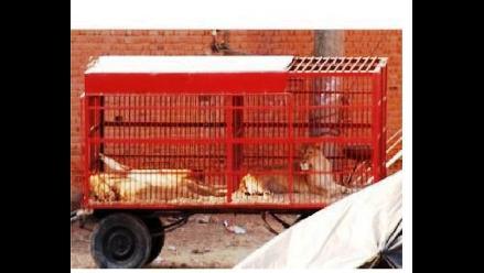 Cusco: envían delegación para rescate de leones de circo Mónaco
