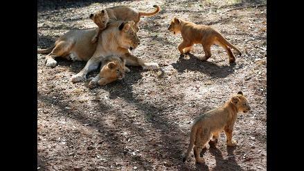 Cusco: cachorros de leones deben ser entregados a Serfor