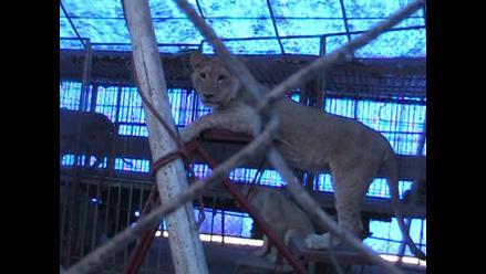 Cusco: psicóloga pide tratamiento para alumnos tras ataque de león a maestra