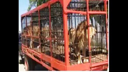 Cusco: tres leones y un mono fueron retirados de circo Mónaco