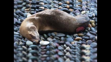 Reportan lobo de mar varado en La Punta