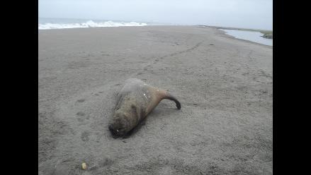 Hallan ocho lobos marinos muertos en playa de Pisco