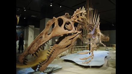 Exhiben esqueleto de Spinosaurus, el depredador más grande de la Tierra