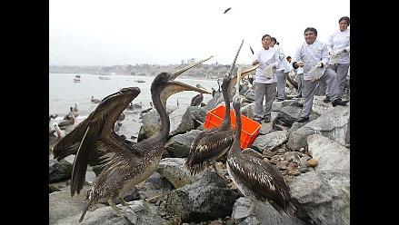 Trabajadores municipales alimentaron a 200 pelicanos en Huanchaco