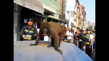 Mono escapa de su dueño y causa alboroto en calles de Ate