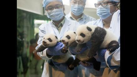 China: pandas trillizos abren sus ojos por primera vez