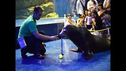 Un león marino golfista es la atracción de un acuario en Japón