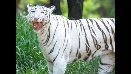 Tigre blanco mata a un joven que cayó en un zoológico de la India