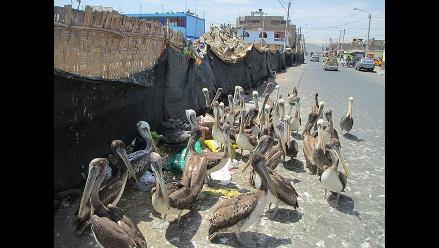 Chimbote: pelicanos hambrientos se alimentan de basura