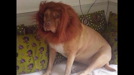 Sujeto le compra una peluca a su perro y lo ´transforma´ en león
