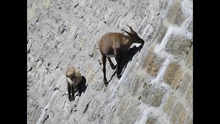 Reto a la gravedad: la cabra salvaje de Los Alpes