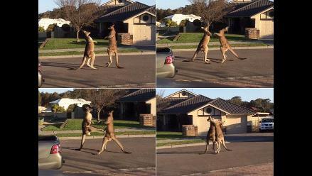 Ni boxeo ni UFC: Captan insólita pelea de canguros en plena calle