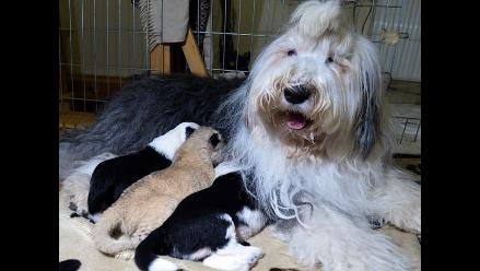 Polonia: Cachorro de león es criado por un perro