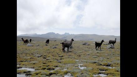 Arequipa: 60 mil fetos de camélidos sudamericanos se perdieron