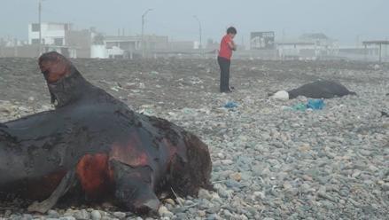Trujillo: esperan retirar restos de lobos marinos con maquinaria pesada