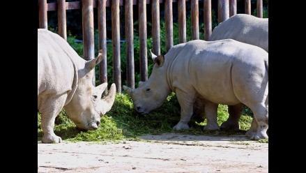 Murió uno de los últimos rinocerontes blancos del norte