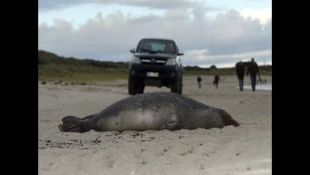 Decenas de focas mueren por la gripe en costas alemanas