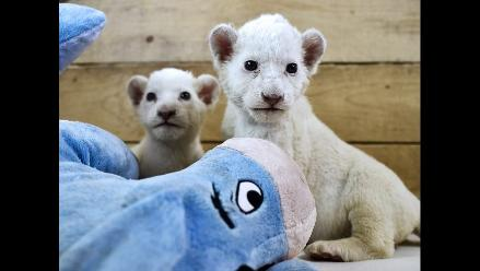 Zoológico de Belgrado presentó a dos cachorros de león blanco