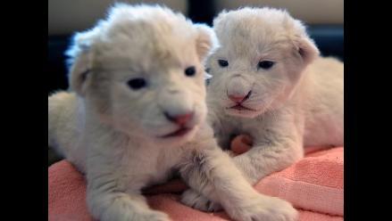 Cachorros de león blanco fueron rechazados por su madre en Polonia