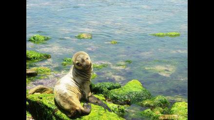 Paracas: lobo de mar protagoniza conmovedor retorno a su hábitat