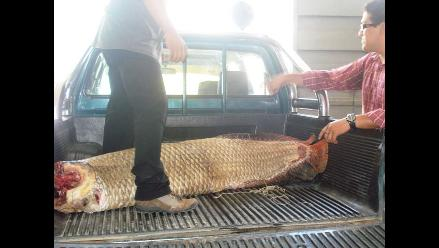 Loreto: decomisan gran cantidad de paiche en temporada de veda