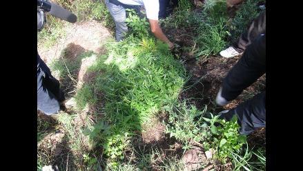Ayacucho: encuentran plantaciones de marihuana en chacra
