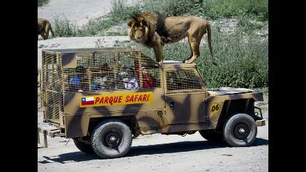 Un recorrido entre leones salvajes en el Parque Safari de Rancagua