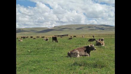 Junín: recuperan doce cabezas de ganado robadas por abigeos en Tarma