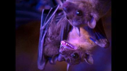 Murciélagos portadores de ébola podrían tener la clave para la cura