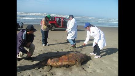 Investigan muerte de 187 lobos marinos y 50 pelícanos en Piura