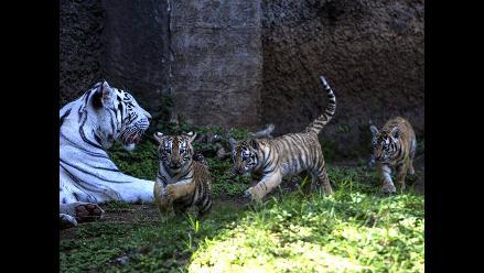 Zoológico de Guatemala presentó a tres tigres de bengala cachorros