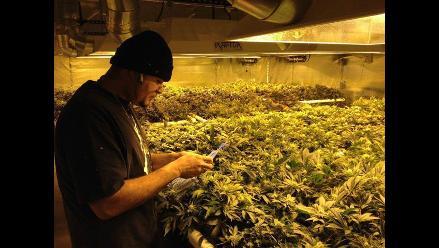 Un granjero de EE.UU. subastará casi una tonelada de marihuana
