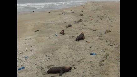 Áncash: gobernador de Samanco denunció que lobos son asesinados