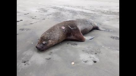 Lambayeque: última muerte de lobos fue por interacción con pesca